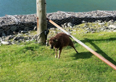 soay sheep st kilda ronnie cruwys